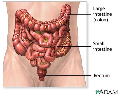 the small intestines ii